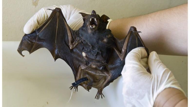 Resultado de imagem para raiva em morcegos